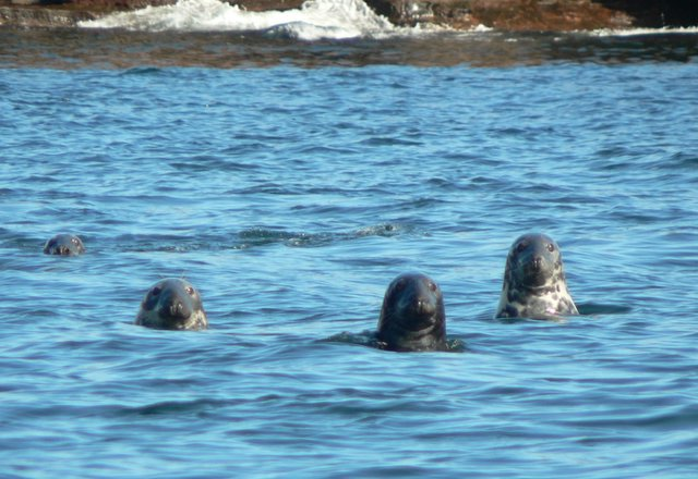 Close up of seal heads in water